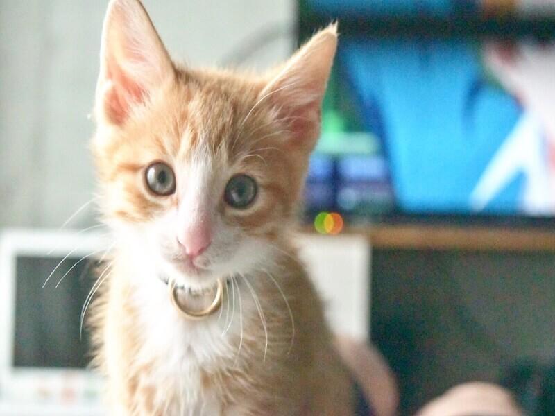 ペットとして人気の猫75種類!定番で飼いやすい猫はどの種類