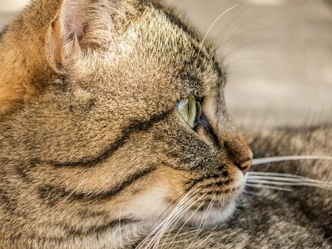 cat_face_in_profile
