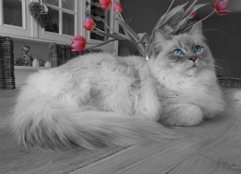 世界一体重の思い猫であるラグドール