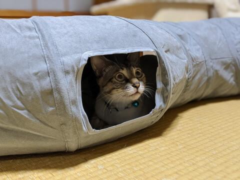 猫 トンネル遊び