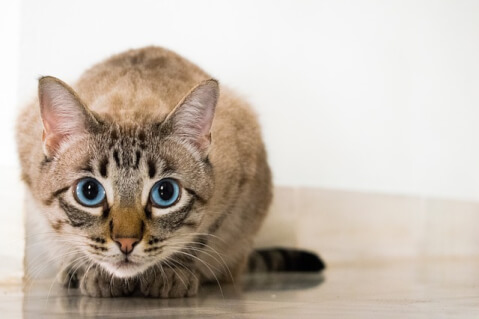 cat_with_blue_eyes
