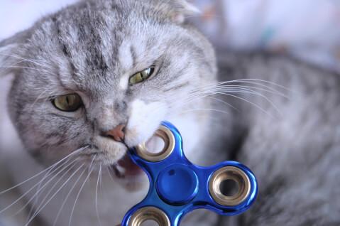 おもちゃを加える灰色の猫