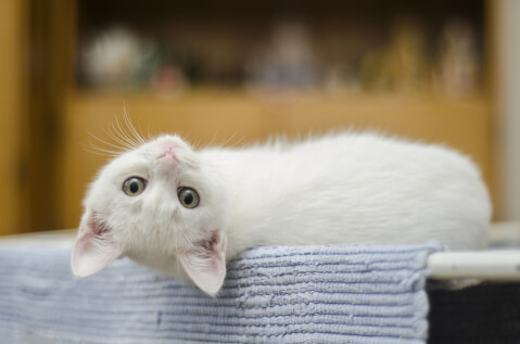 寝転がってこちらを見る白い子猫