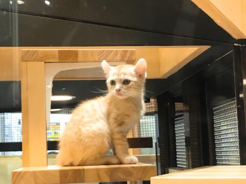 ペットショップの子猫