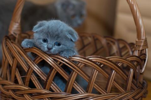 バスケットに入っている濃い灰色の子猫