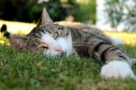 芝生に寝転がる猫