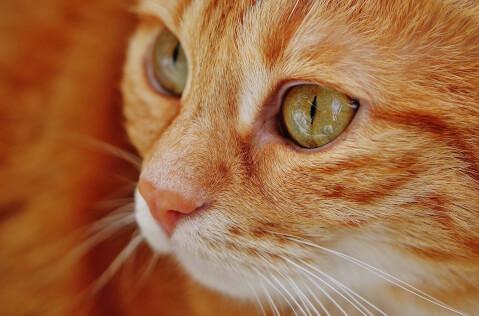 オレンジ猫の顔アップ