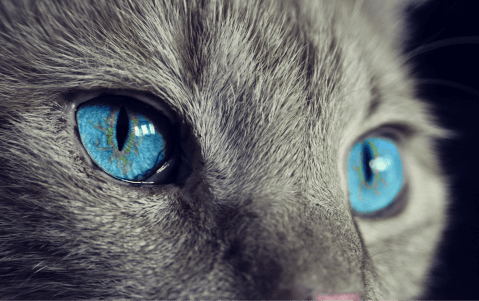 青い目の猫アップ