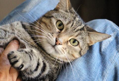 膝の上で撫でられる猫