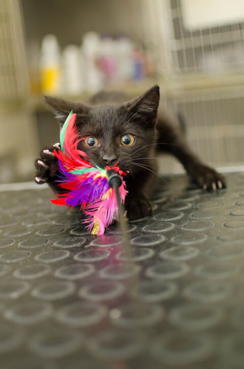 色とりどりの羽つきおもちゃを追う黒い子猫