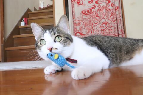 ネズミのおもちゃをくわえる猫