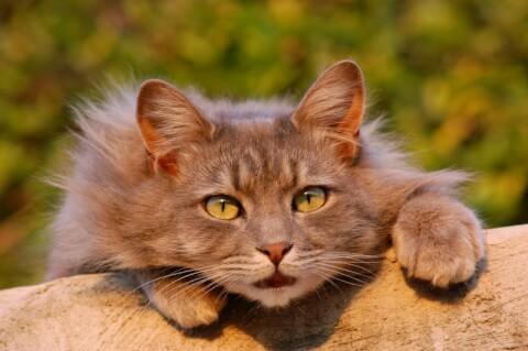 browncat