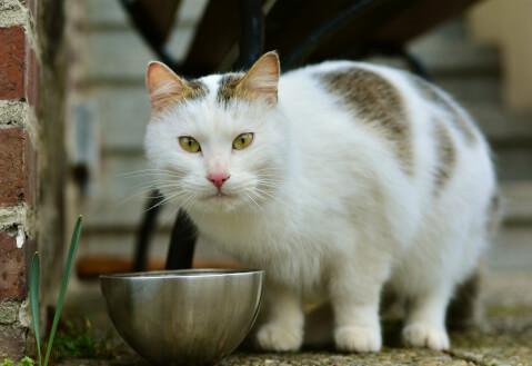 銀のボウルから餌を食べる白地にブチの猫