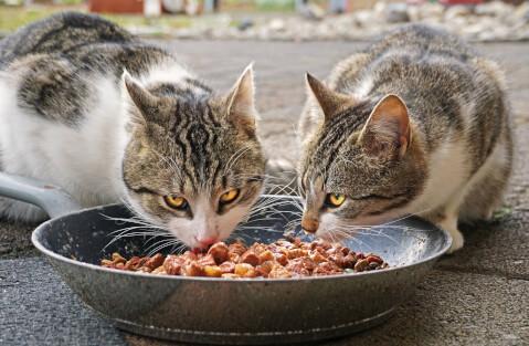 エサを食べる2匹の猫