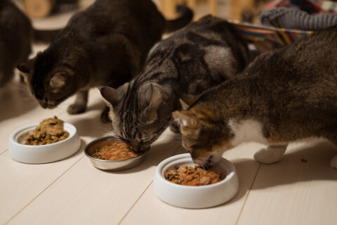 ご飯を食べる複数の猫