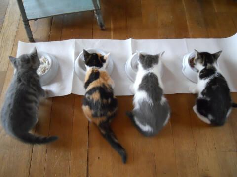 エサを食べる4匹の猫