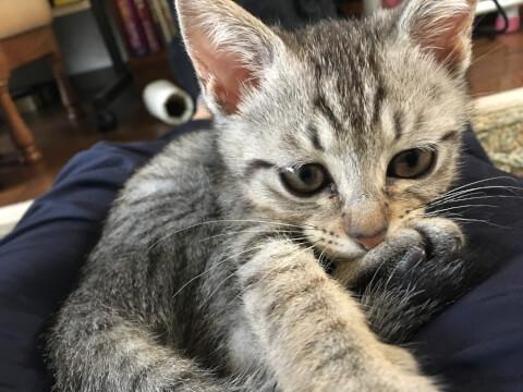 猫 ひざの上 かまってほしい