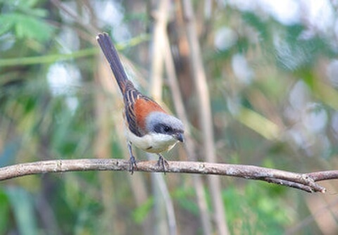 characteristics_of_shrike
