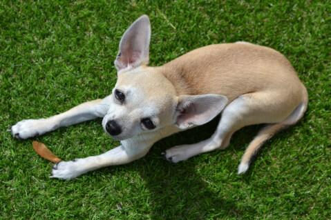 チワワ 犬 人気 犬種 種類 大型 名前 小型 体重 寿命