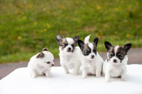 Chihuahua_group2