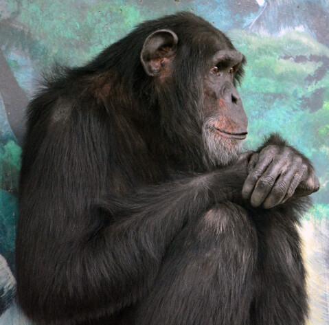 前を向くチンパンジー