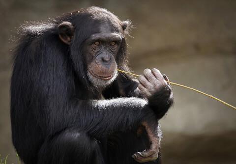 フリー素材 植物をくわえるチンパンジー