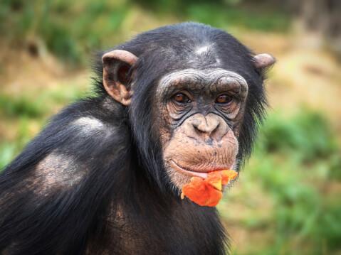 オレンジ色の果実をくわえるチンパンジー