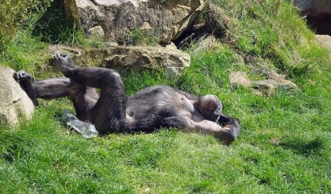 地面にころがるチンパンジー