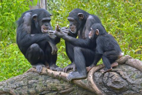 3匹のチンパンジー