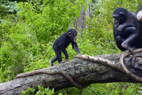 子どもチンパンジー