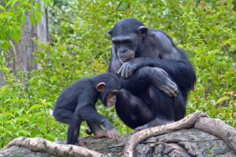 子どもチンパンジーを見つめるチンパンジー