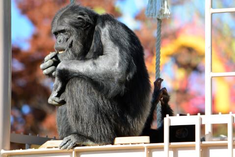 サムネと同じチンパンジー