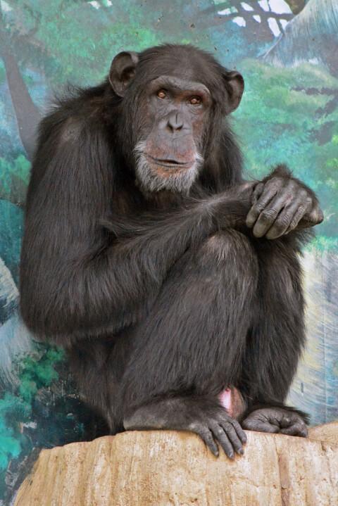チンパンジー縦の写真