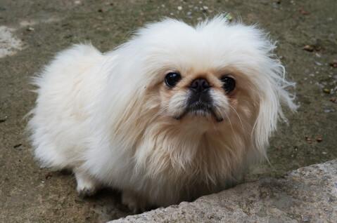 狆 犬 人気 犬種 種類 大型 名前 小型 体重 寿命
