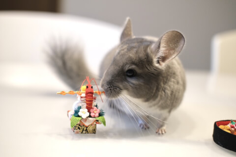 小動物 チンチラ ペット