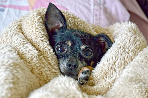 毛布から顔を出す黒いチワワ