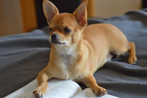 本を読むチワワ