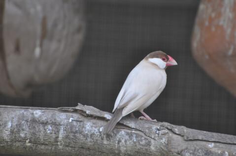 cinnamonjavasparrow
