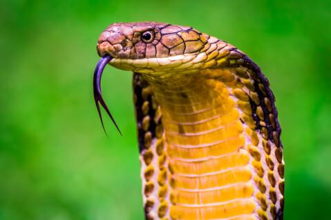 コブラ 蛇 種類 特徴 模様 毒 日本 スポット