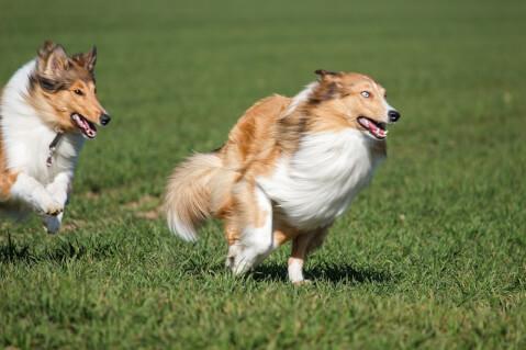 コリー 種類 子犬 小型 毛色 飼育