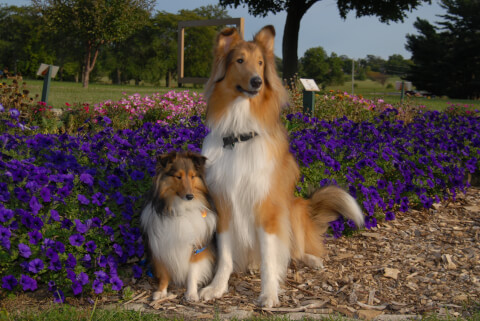 collie_and_sheltie