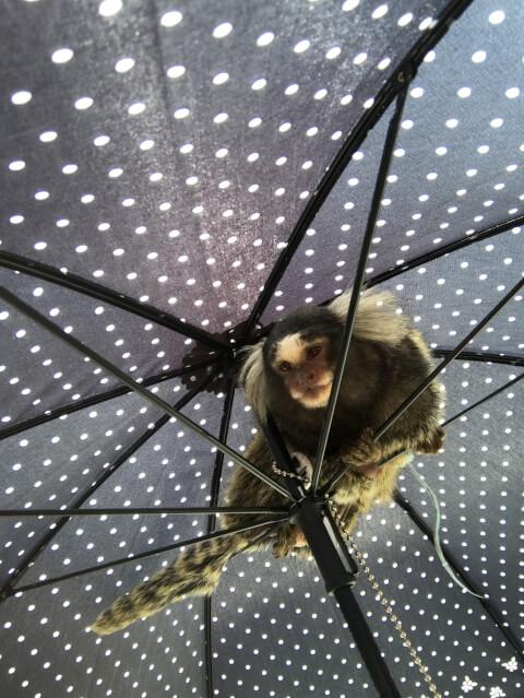 傘の中にいるコモンマーモセット