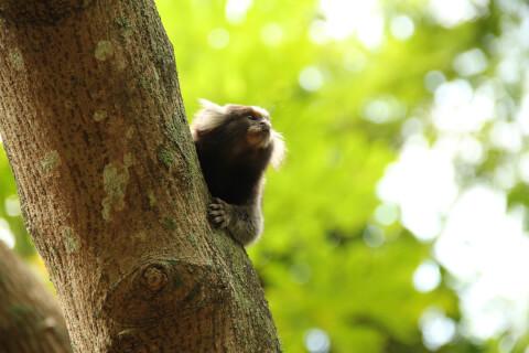 木から上半身を見せるコモンマーモセット