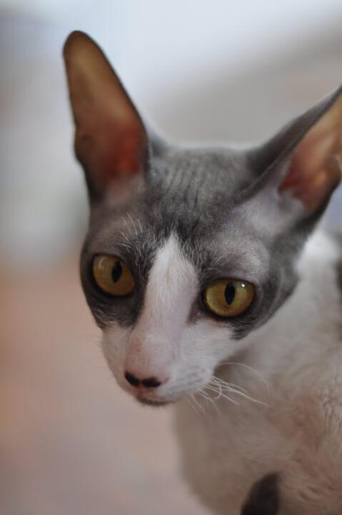 白灰色バイカラーのコーニッシュレックスの顔アップ