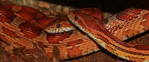 corn-snake-couple