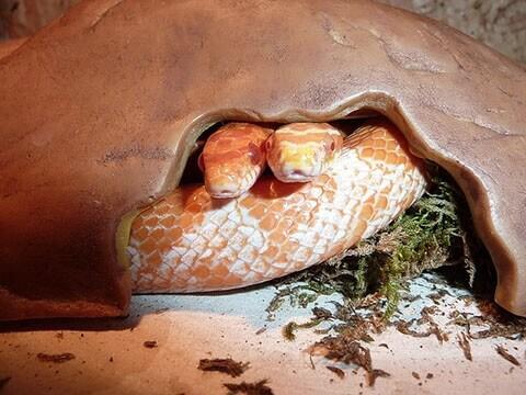 corn-snake-shelter