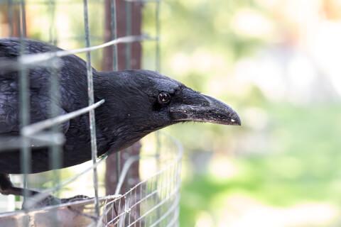 カラス 生態 保護 飼育 なつく 性格 寿命 餌
