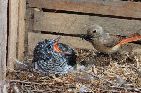 カッコウ 鳴き声  托卵 鳥 特徴 鳩時計