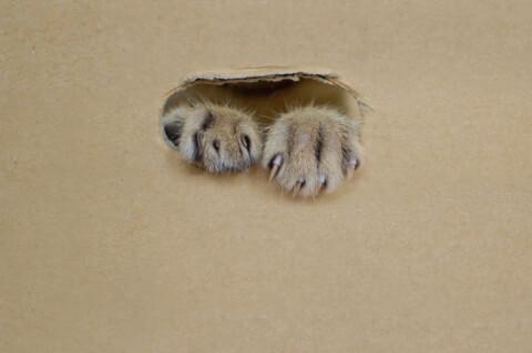 段ボールから手を出す猫