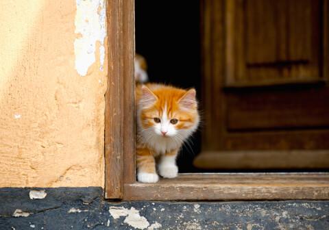 キムリックの子猫